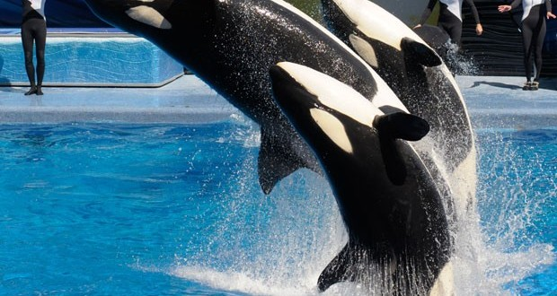 SeaWord anuncia que não criará mais baleias assassinas