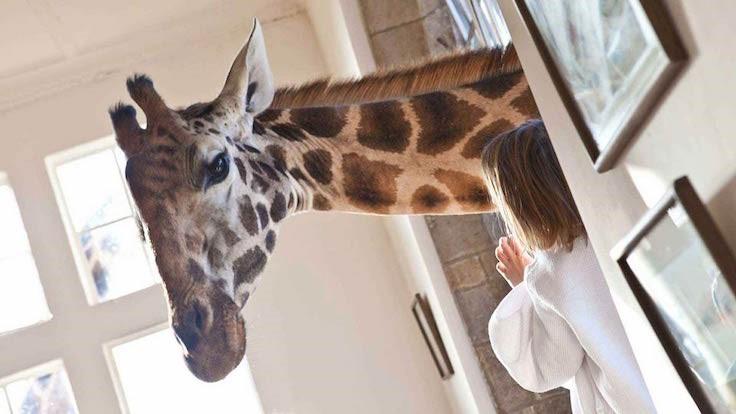 Giraffe Manor3
